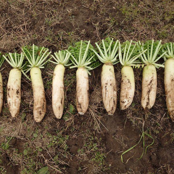 大根の母本選抜 <国産の良質な有機種子を増やします>