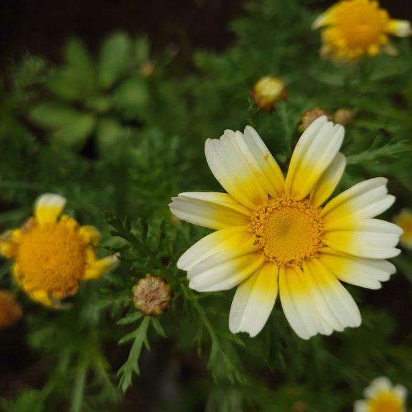 春菊の種とり。 弊社の有機圃場で採種が無事完了しました!