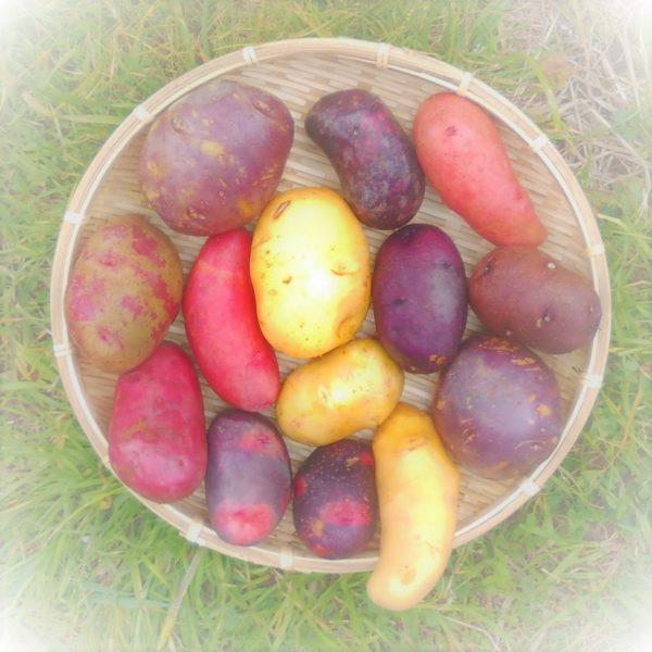 有機栽培向き!こだわりのジャガイモの種いも入荷しました!