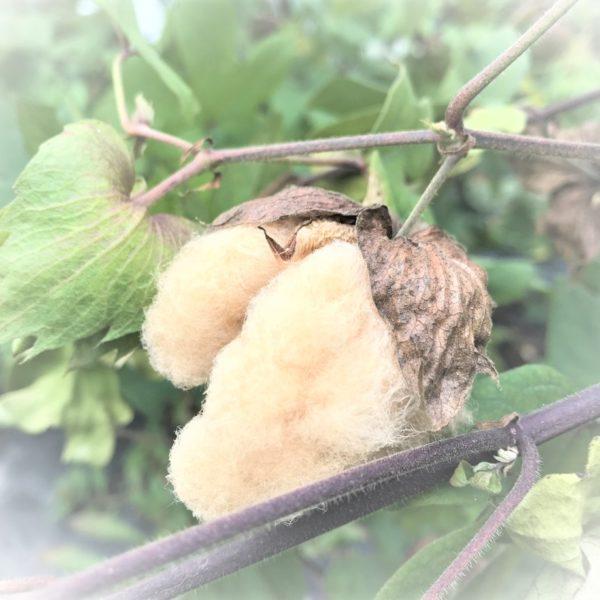 国産・有機栽培の「茶綿(ちゃめん)の種」入荷しました!