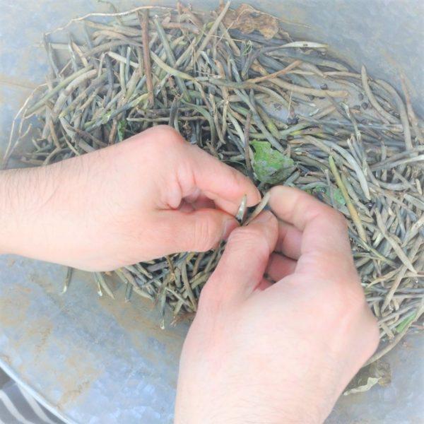 藪蔓小豆(やぶつるあずき)